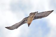 Le gypaète Rocca en vol plané dans un ciel hivernal