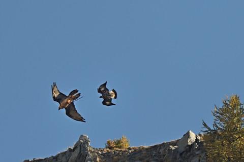 Jeune aigle royal poursuivant un gypaète adulte en train d'engraisser son aire. Les territoire du gypaète et de l'aigle peuvent se chevaucher ce qui peut amener des conflits. De longues observations de ces prétendus rivaux m'ont toutefois permis de constater qu'il s'agissait de scènes assez fréquentes avec très généralement peu de conséquence pour les oiseaux.