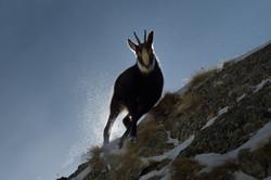chamois contre jour neige wix