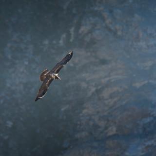 Gypaète barbu juvénile longeant le falaise
