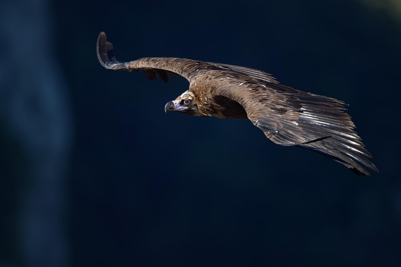 vautour moine  bis V2