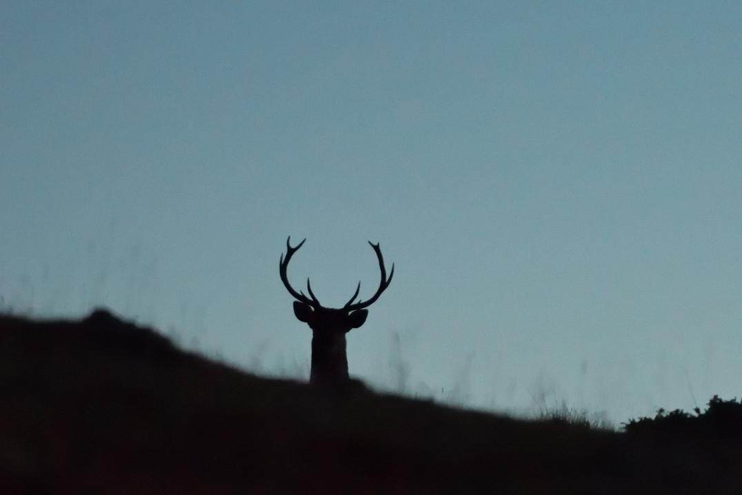 Jeune cerf au lever du jour