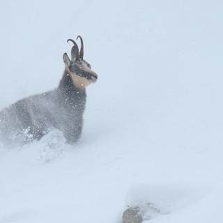 Chamois en hiver dans la tourmente.