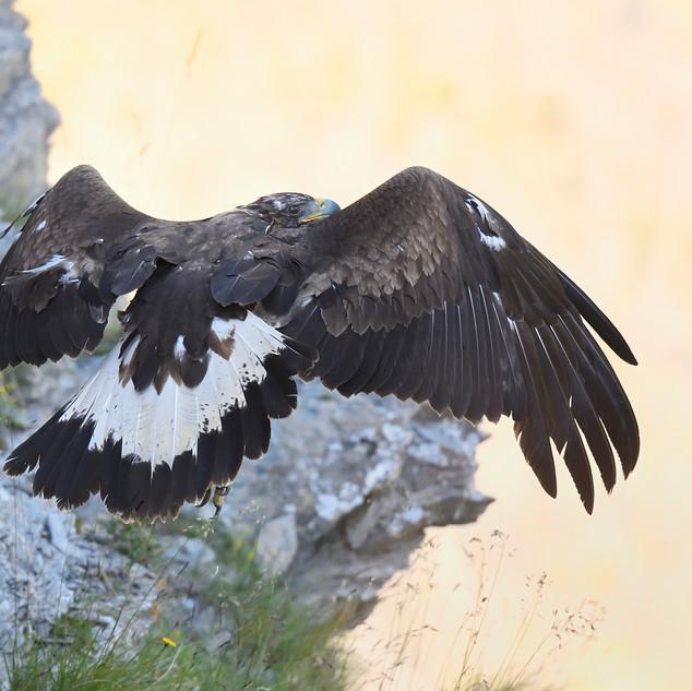 Aigle royal au décollage