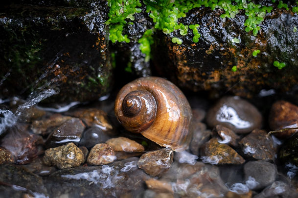 Snail shell resting on a bed or rocks in a stream
