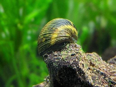 Clithon nerite snail on driftwood