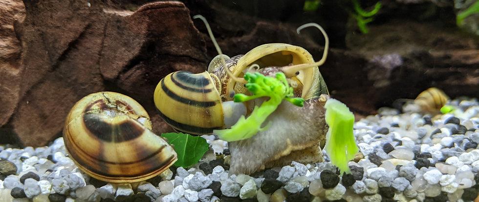 Asolene spixi snails eating broccoli