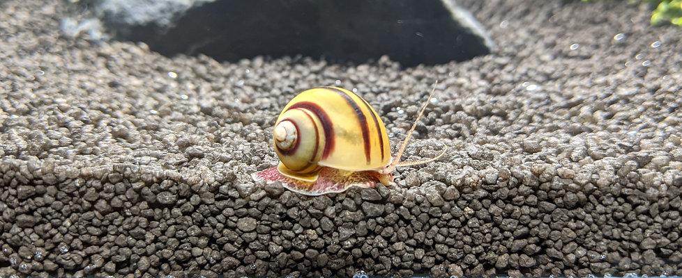 Asolene spixi snail