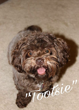 Chocolate Shihpoo