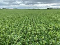 Kvælstoffikserende afgrøder er et overset klimavirkemiddel