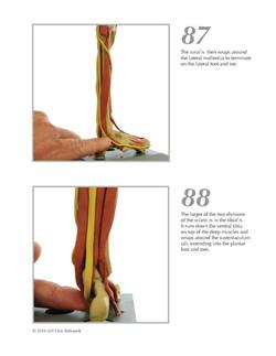 Basic Muscles, Nerves & Vessels-Leg