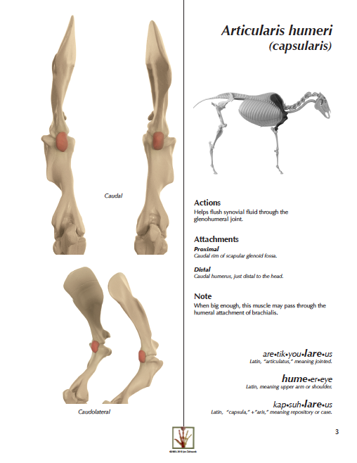 MYOLOGIK® Equine Pectoral Atlas