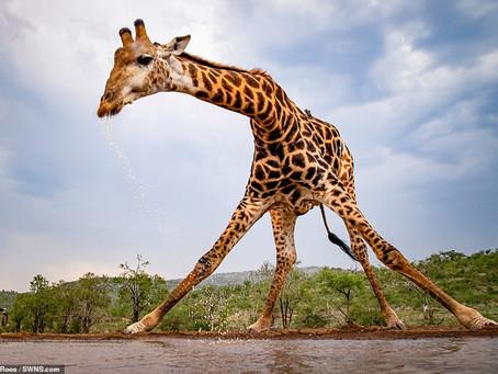 Giraffes and Genomes