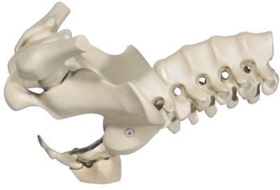 MidiMANIKEN™ Female Pelvis