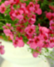Topf Pflanze rosa