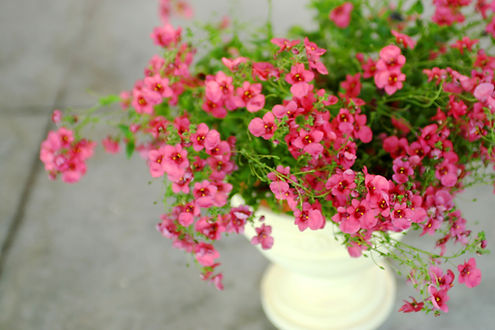 Potted Pink Plant