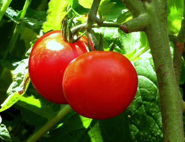 tomatoes Pinterest from Gardening Know How.jpg
