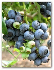 blueberries Pinterest.jpg