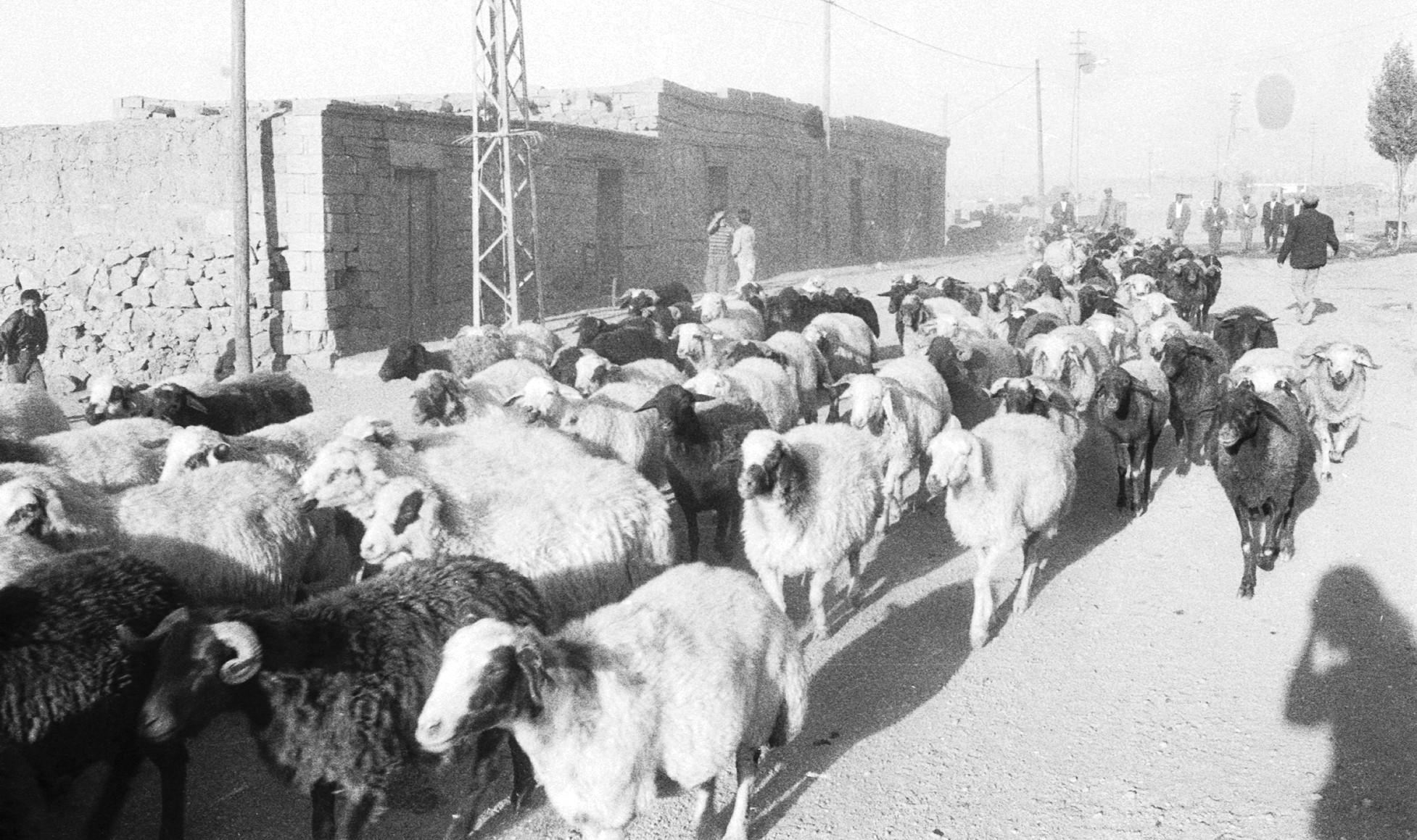 troupeau devant des maisons