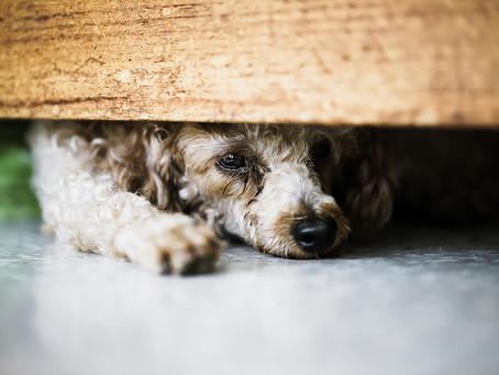 Com podem ajudar als nostres gossos a passar la revetlla de Sant Joan?
