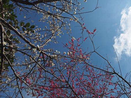紅白梅と白い雲