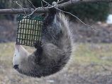 Possum on suet feeder.JPG