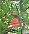 Scarlet tanager 2 May 2019 (3).jpg
