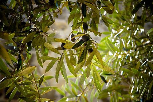 Folhas de Oliveira Granel