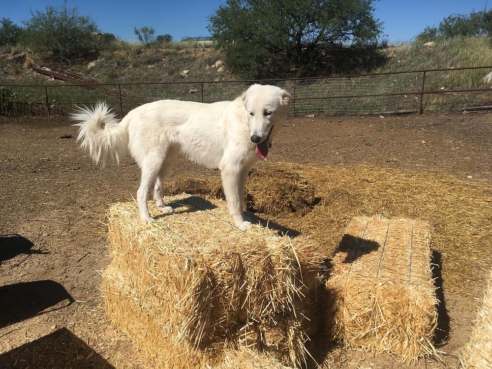farm dog agility class tucson
