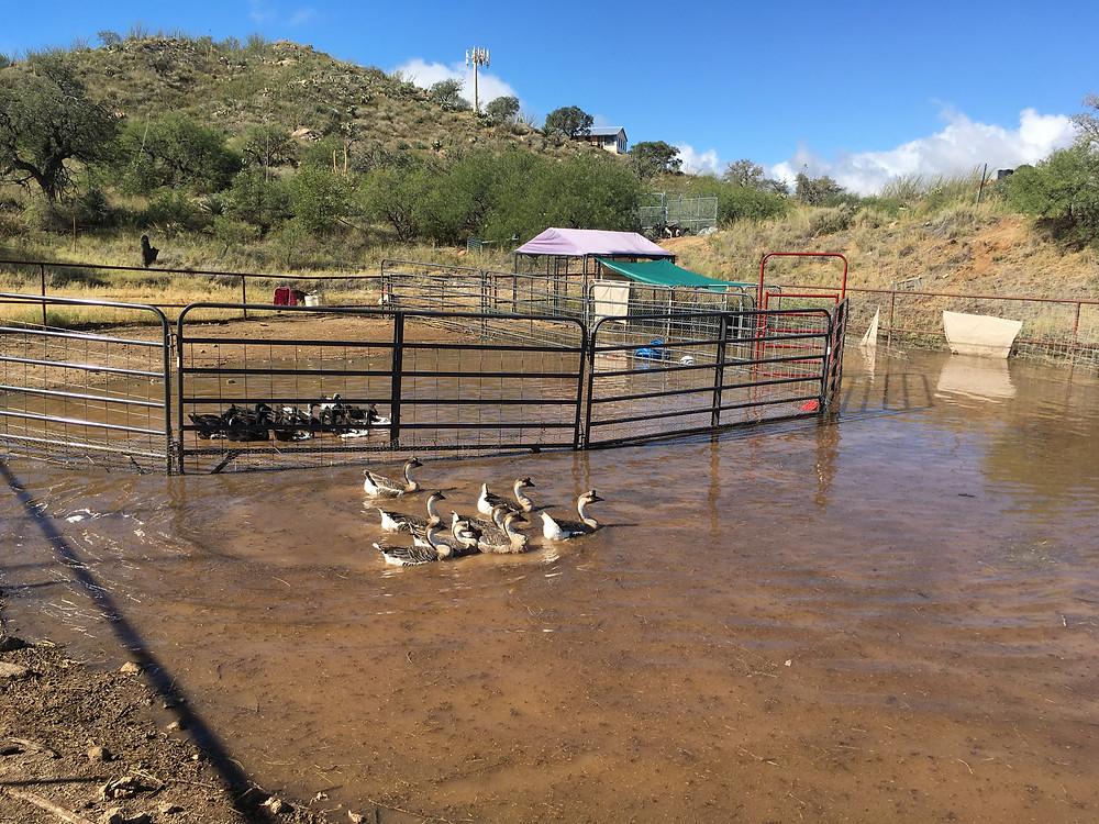 Herding class in Tucson