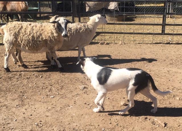 Private Herding Lessons