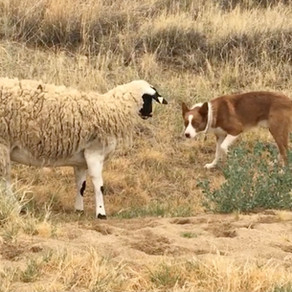 The Connection Between Herding dogs and Biting