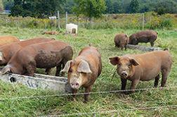 Little pigs.jpg