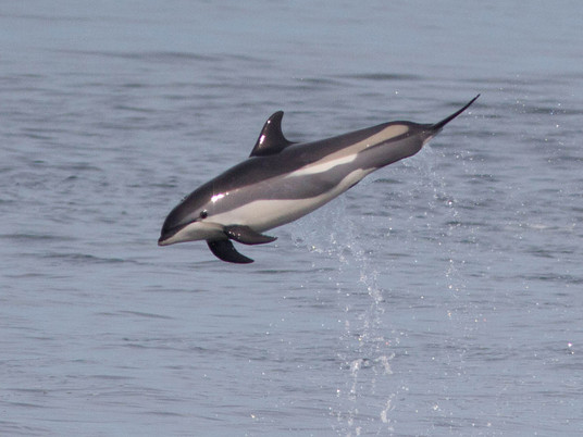 Genome assembled for an oceanic dolphin species