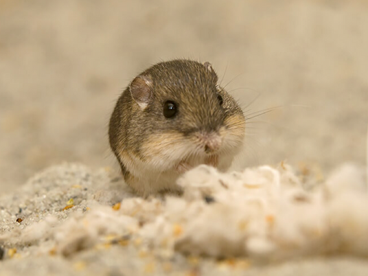 Genome assembled for tiny mouse