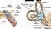 Fisioterapia Reabilitação Vestibular (Labirintite)