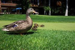 ducks & ponds '06 095