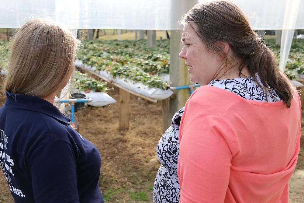 : Prefeita Maria Julia acompanha trabalho dos produtores de morango.