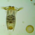lilplankton.png