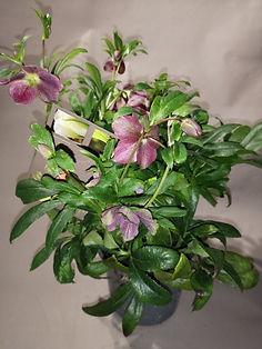 plante_roses_de_Noël_(_Hellebore).jpg