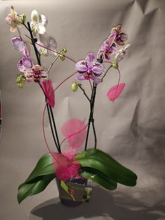 Orchidées_(Phalaénopsis)_plusieurs_c