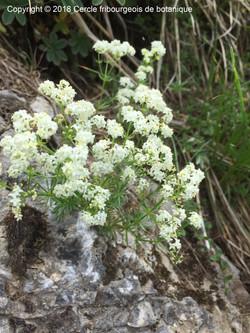 Galium anisophyllum Jean Marie Samyn