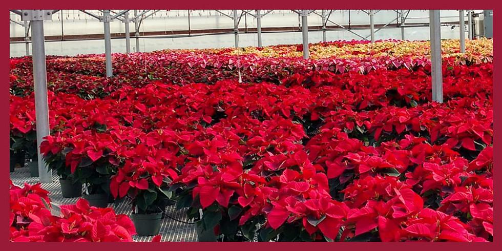 Poinsettia Greenhouse Tour