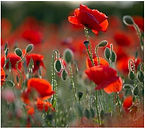 poppies Jon Burgess.JPG