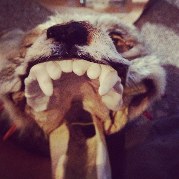 COYOTE teeth close up