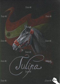 Tulipa - 2013