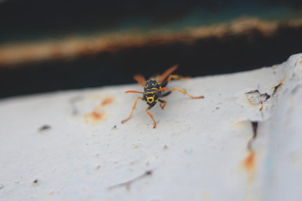wasp 2.jpg