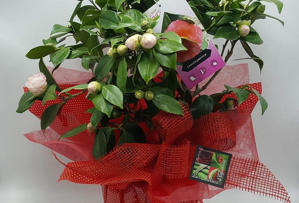 Camélia rose ou blanc