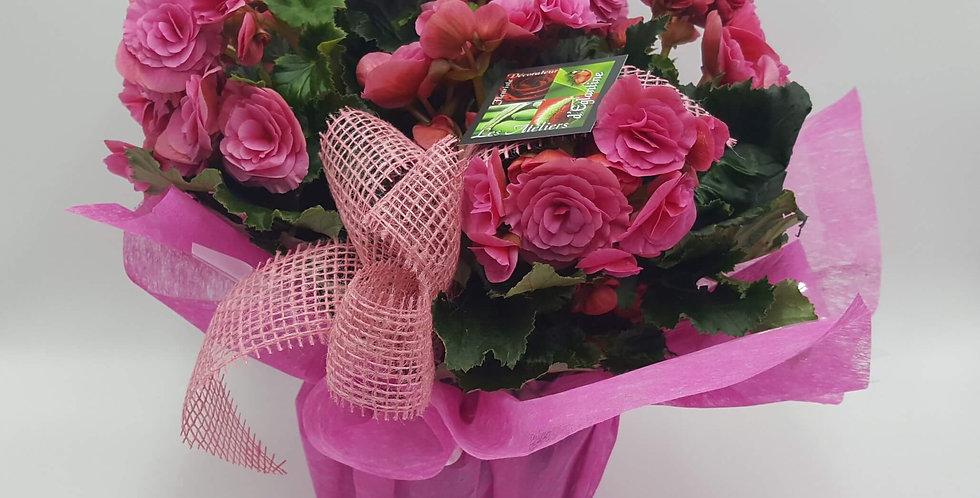 Bégonia rose