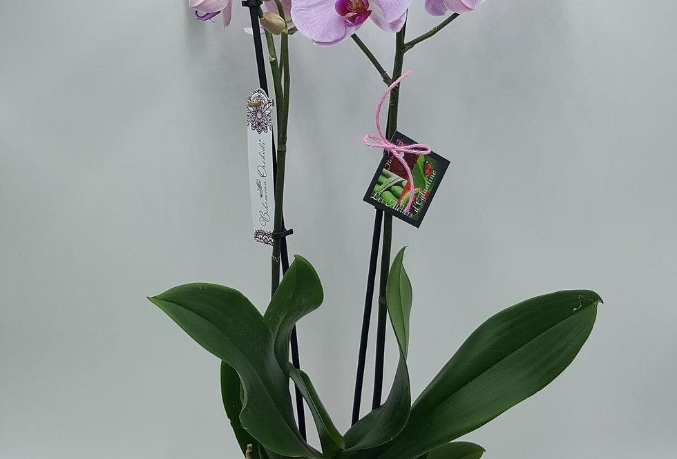 Orchidée rose/mauve